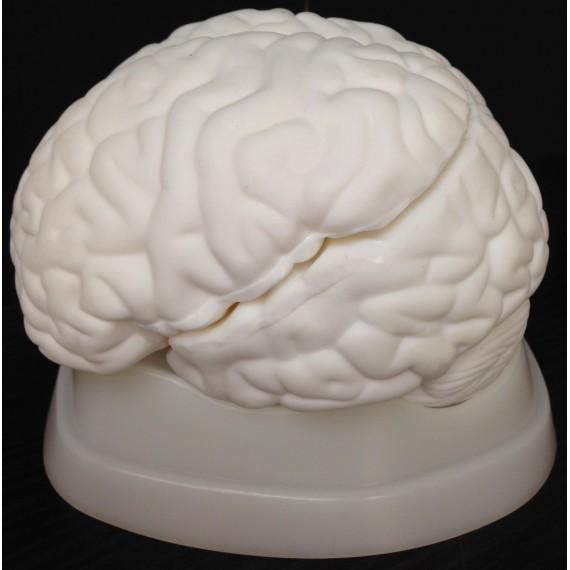 Anatomisk modell av hjernen