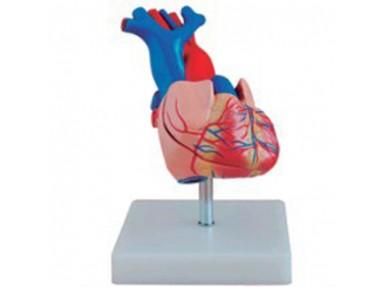 Naturlig størrelse hjerte