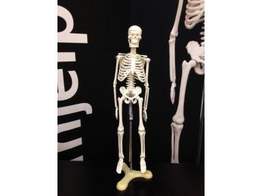 Anatomisk korrekt skjelett.