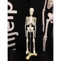 Skjelett, hel kropp 42cm