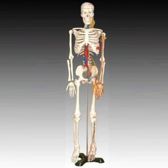 Skjelett, hel kropp. M/ sener og nerver, 85cm