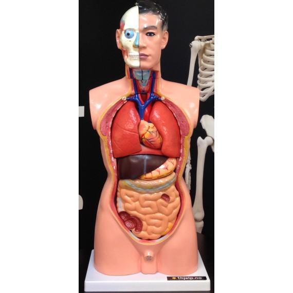 Mannlig torso modell, 19 deler, 85cm